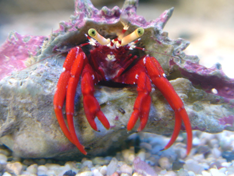 Hermit Crab Species For Fish Tanks   Hermit Crabs As Aquarium Pets  fish picture
